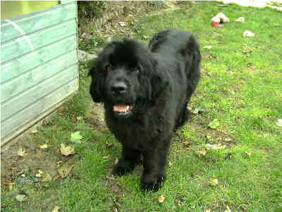female newfoundland dog