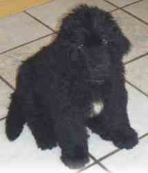 newfoundland puppy picture