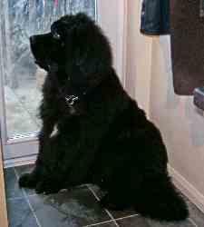 Newfoundland dog breeders